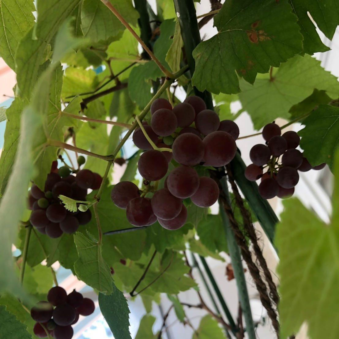 店の表のぶどう 種があるけど甘くて美味しい そろそろ収穫して冷やしておきます  8/18、19、20と夏休み頂きます。 水曜日よりご来店お待ちしております🏻